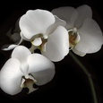 White Phalaenopsis Orchids, Michael Freeman