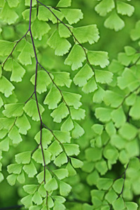 Adiantum Fern Plant Care House Plants And Flowers