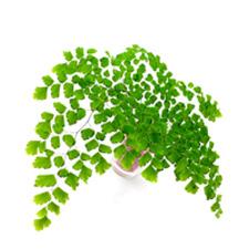 Adiantum Fern Plant Fronds