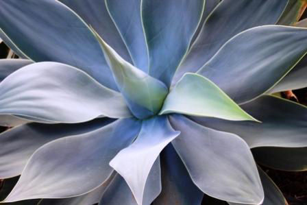 Agave Plant Picture, Close Up