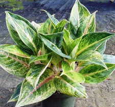 Aglaonema Emerald Holiday House Plant