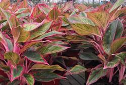 Plant Care Aglaonema Firecracker Chinese Evergreen Plants