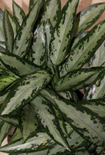 Chinese Evergreen Plant, Jubilee Petite