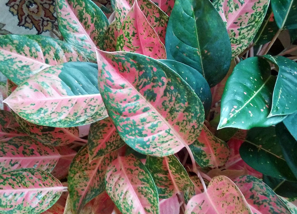 Artificial Life Like Accent House Plants |Wholesale Silk Plants Chinese Evergreen House