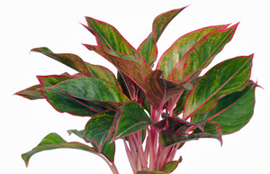 Plant Care - Aglaonema Plant Varieties and Care