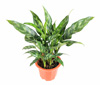 Aglaonema - Desk Plant for No Sunlight