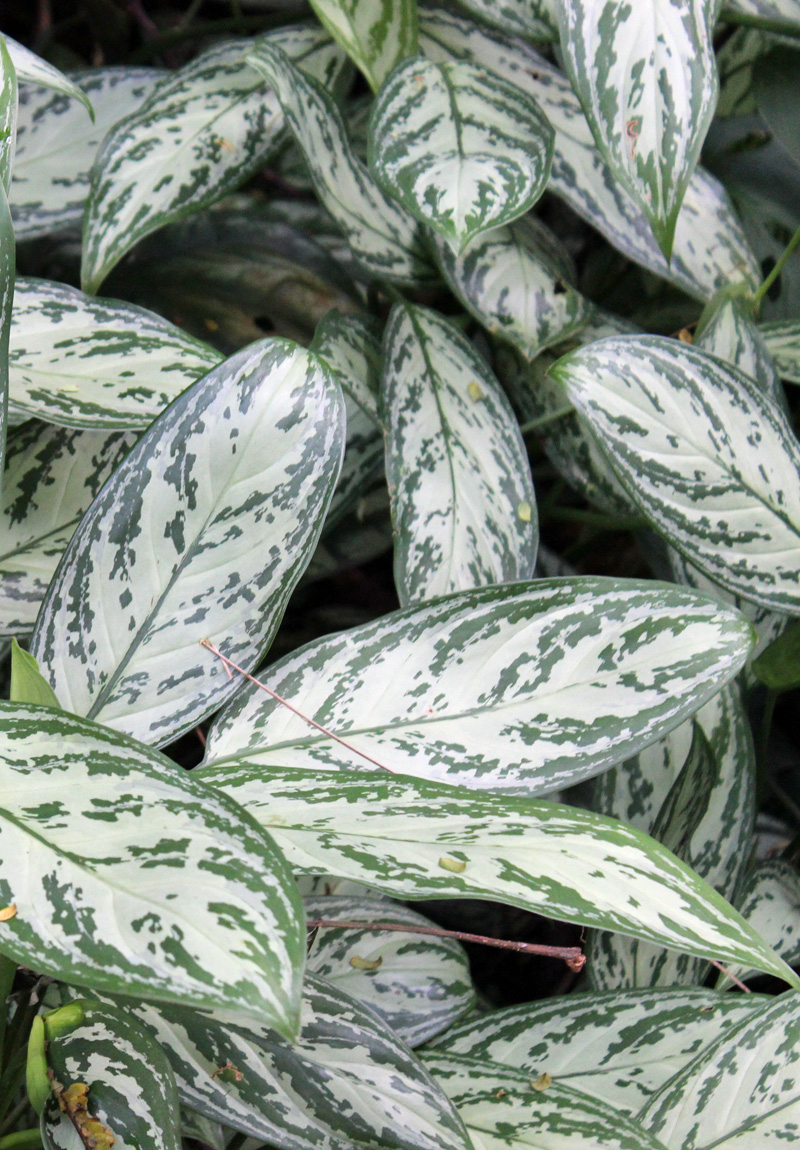 Care Of Aglaonema Silver Queen Plant House Plants Amp Flowers
