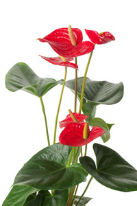 Anthurium Plant Leaves and Flowers