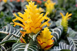 Flower on aphelandra squarrosa plant