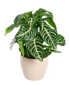 Aphelandra squarrosa house plant
