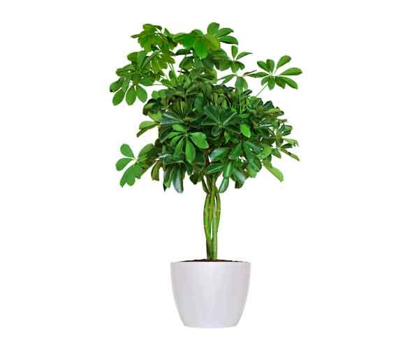 Arboricola Braid House Plant