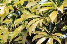 Variegated Arboricola Plant