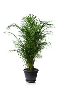 Palm Plant - Areca Palm or Butterfly Palm