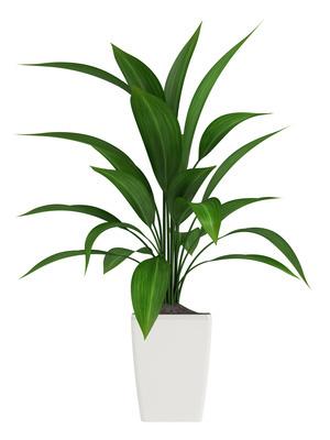 Aspidistra Elatior Plant Care Houseplants Amp Flowers