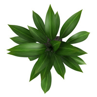Aspidistra elatior plant, leaves from above