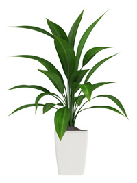 Aspidistra plant care