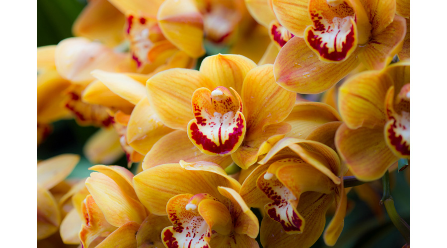 Yellow and Red Orchid Flower