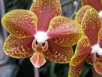 Yellow Red Moth Orchid