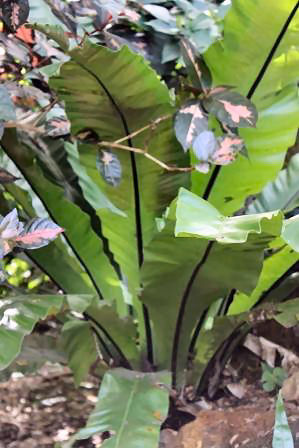 Birds Nest Fern Photograph