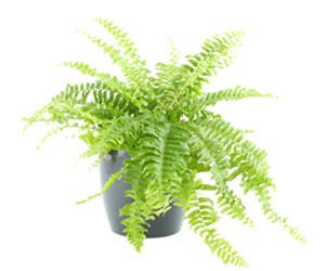 Boston Fern House Plant