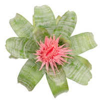 Pink Aechmea bromeliad flower from above