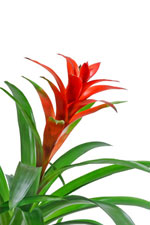 Bromeliad Care For Common House Plant