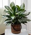 Buy Aglaonema Plant