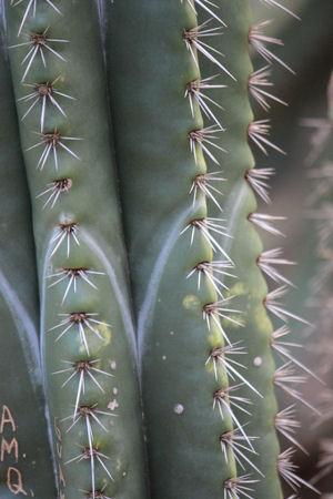 Cereus Cactus photograph