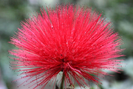 Red Flowering Calliandra