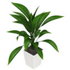 Aspidistra houseplants care