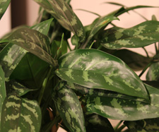 Chinese Evergreen Plant - Maria
