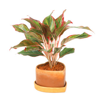 Indoor Plant Ideas | The 20 Best Houseplants For Your Home ... |Wholesale Silk Plants Chinese Evergreen House