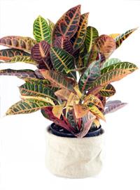 Buy Croton houseplant