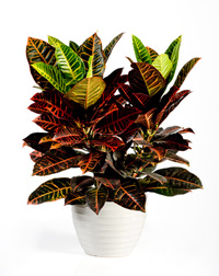 Croton Petra house plant