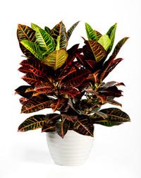 Croton Petra house plant care