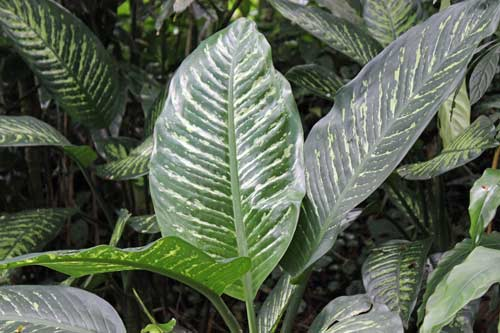 Picture of Dieffenbachia Amoena Plant