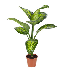 Dieffenbachia Plant Tropic Snow