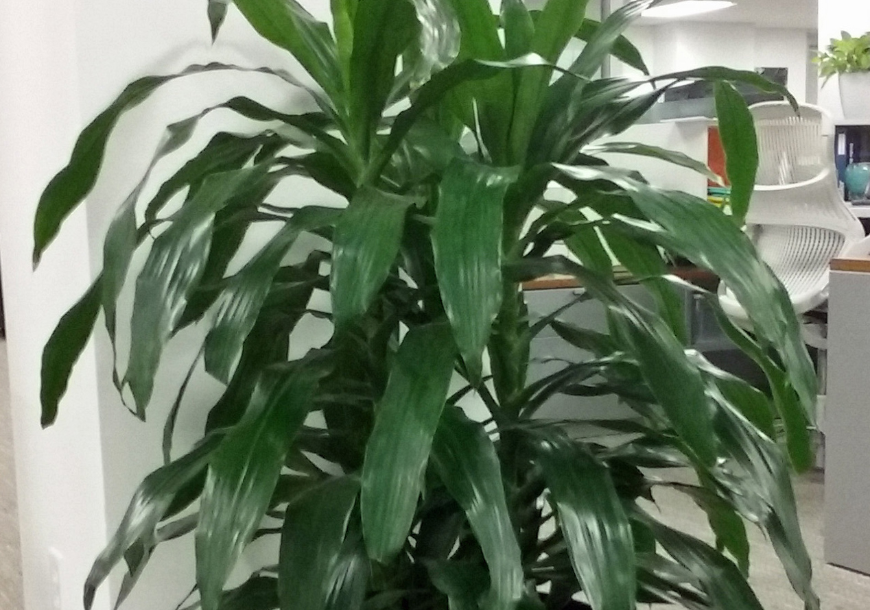 Plant care for dracaena janet craig house plants for Plante dracaena