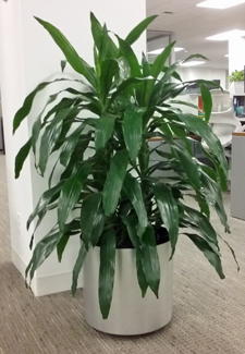 Dracaena Janet Craig-Corn Plant