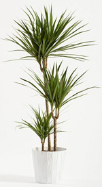 Dracaena Marginata Plant Care | Indoor House Plants on cornstalk plant, mass cane plant, artificial palm trees plant, tall marginata plant, marginata plant poisonous, marginata cane plant, shrimp plant, cigarette plant, pruning marginata plant, alocasia plant, fica plant, dracaena plant, identify palm plant, eucalyptus plant, gawe aspidistra plant, florida beauty plant, d. marginata plant, cactus tree plant, century tree plant,