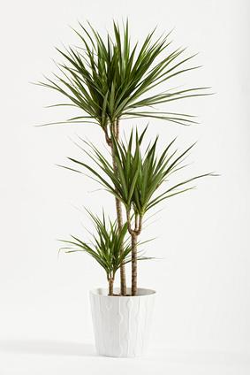 Dracaena Marginata Plant Care Indoor
