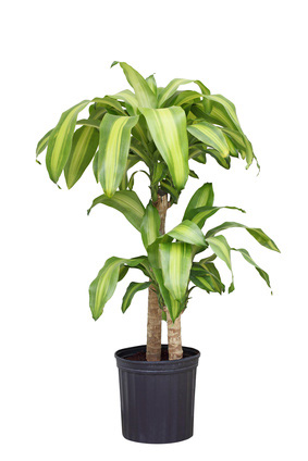 Dracaena House Plant Care Houseplants And Flowers