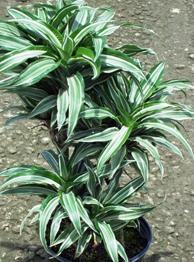 Dracaena Warneckii Plant