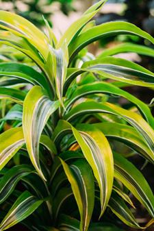 Dracaena Warneckii Plant Care