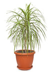 Dracaena marginata houseplants care