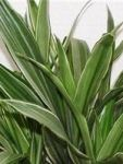 Dracaena Warneckii leaves