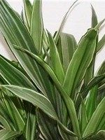 plant care dracaena warneckii house plants flowers. Black Bedroom Furniture Sets. Home Design Ideas