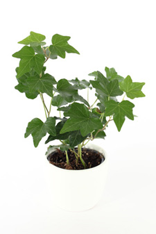 Hedera helix plant leaves
