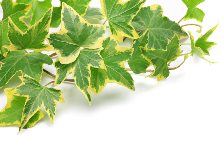 Hedera Helix Plant Care Houseplants Amp Flowers