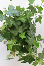 Green English Ivy House Plant